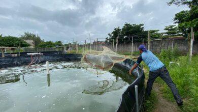 Photo of Un éxito, segunda etapa de comercialización de tilapia producida en estanques: Proyecto Municipal Acuícola